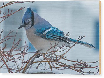 Blue Jay Wood Print by Phil Abrams