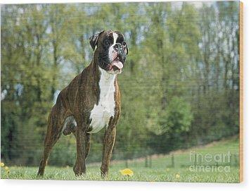 Boxer Dog Wood Print by Johan De Meester
