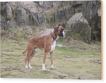 Boxer Dog Wood Print by Mark Severn