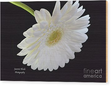 Wood Print featuring the photograph Bright White Gerber Daisy # 2 by Jeannie Rhode