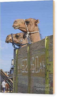 Camels At The Ashgabat Sunday Market In Turkmenistan Wood Print by Robert Preston