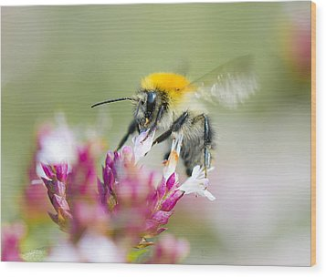 Carder Bee Wood Print