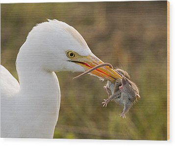 Cattle Egret Wood Print
