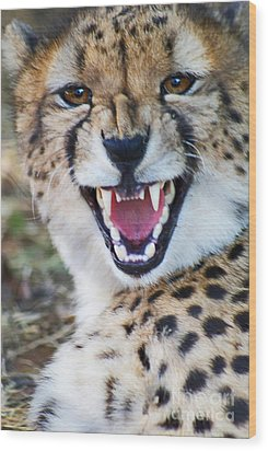 Cheetah With Attitude Wood Print by Stanza Widen