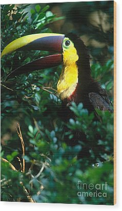 Chestnut-mandibled Toucan Wood Print by Art Wolfe