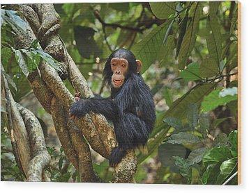 Chimpanzee Baby On Liana Gombe Stream Wood Print by Thomas Marent