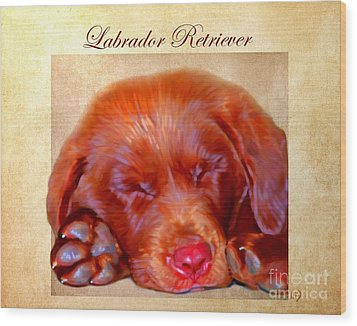 Chocolate Labrador Puppy Wood Print by Iain McDonald