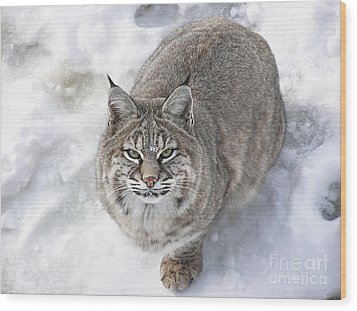 Close-up Of Bobcat Lynx Looking At Camera Wood Print by Sylvie Bouchard