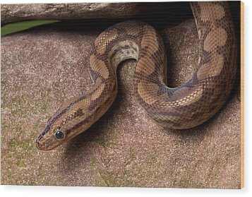 Wood Print featuring the photograph Colombian Rainbow Boa Epicrates Maurus by David Kenny