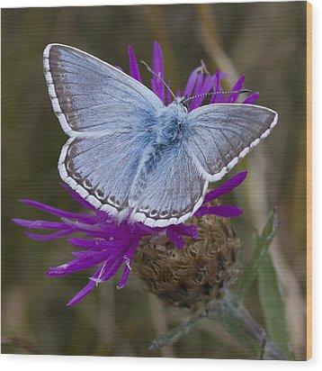 Common Blue Butterfly Wood Print