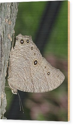 Common Evening Brown Butterfly Wood Print by Science Photo Library