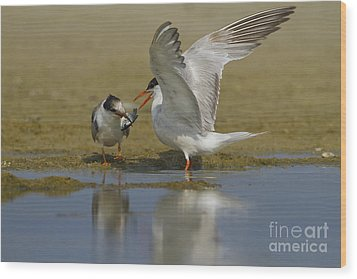Common Tern Sterna Hirundo Wood Print by Eyal Bartov