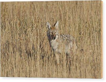 Coyote - 4387 Wood Print