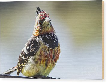Crested Barbet Wood Print