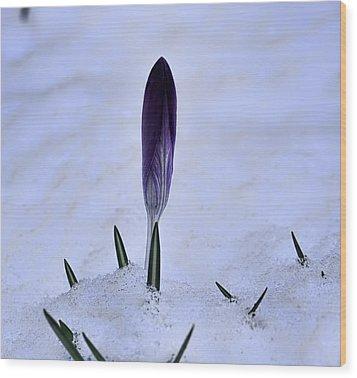 Crocus In Snow Wood Print by Leif Sohlman