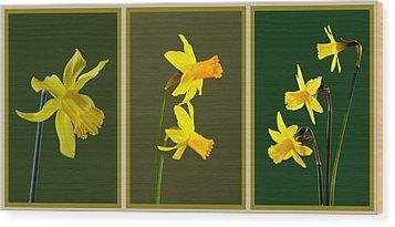 Daffodil Triptych Wood Print by Pete Hemington