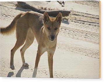 Dingo Wood Print