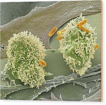 Dividing Cancer Cell, Sem Wood Print by Science Photo Library