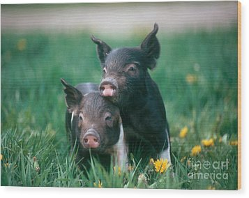 Domestic Piglets Wood Print by Alan Carey