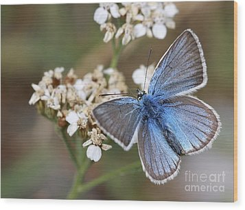 Eastern Baton Blue  Wood Print by Amos Dor