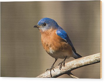 Eastern Bluebird Male 7 Wood Print by Douglas Barnett