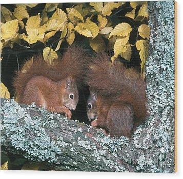 European Red Squirrels Wood Print by Hans Reinhard
