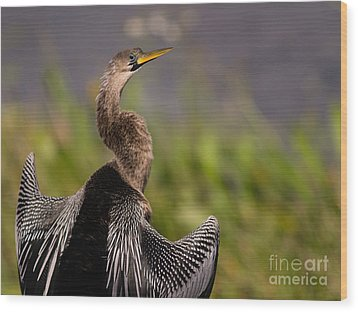 Female Anhinga Wood Print by Tracy Knauer