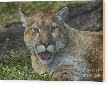 Florida Panther Wood Print by Anne Rodkin