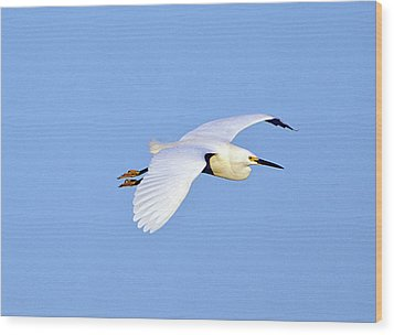Florida, Venice, Snowy Egret Flying Wood Print