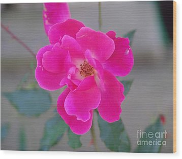 Fushia Knockout Rose 2 Wood Print by Rod Ismay