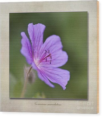 Geranium Maculatum Wood Print by John Edwards