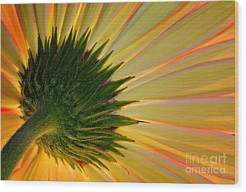 Gerbera Fire Wood Print by Roman Kurywczak