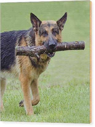 German Shepherds Wood Print by David Lester