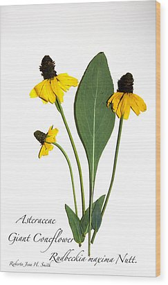 Giant Coneflower Wood Print