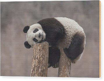 Giant Panda Cub Wolong National Nature Wood Print