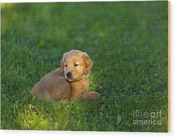 Golden Retriever Puppy Wood Print by Linda Freshwaters Arndt