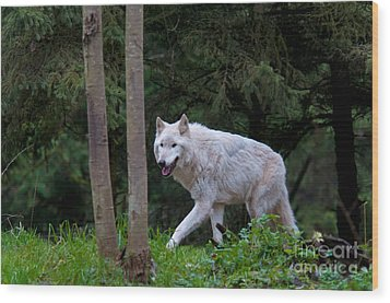 Gray Wolf White Morph Wood Print by Mark Newman