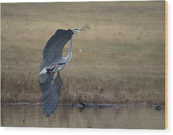 Great Blue Flight Manuever Wood Print
