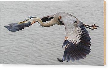 Great Blue Heron In Flight Wood Print by Paulette Thomas