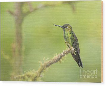 Wood Print featuring the photograph Green-crowned Brilliant Hummingbird by Dan Suzio