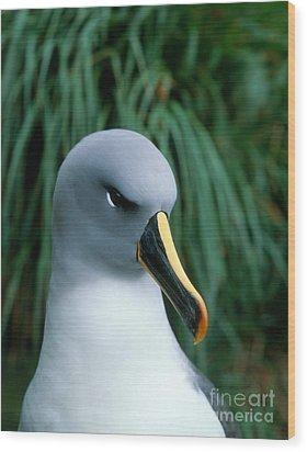 Grey-headed Albatross Wood Print by Hans Reinhard