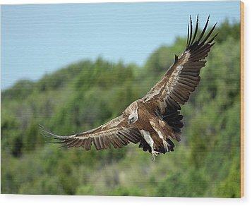 Griffon Vulture Wood Print by Nicolas Reusens