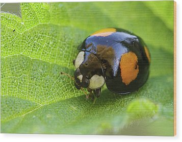 Harlequin Ladybird Wood Print by Heath Mcdonald