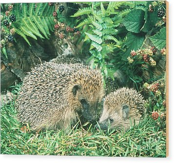Hedgehog With Young Wood Print by Hans Reinhard