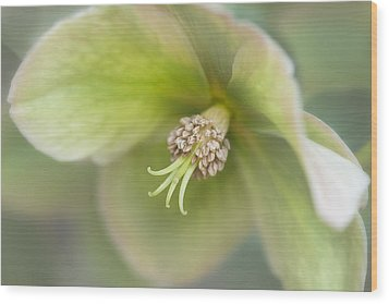 Helleborus Two Wood Print