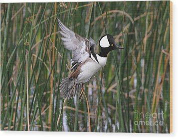 Hooded Merganser Take-off Wood Print by Jennifer Zelik
