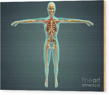 Human Body Showing Skeletal System Wood Print by Stocktrek Images