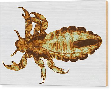 Human Louse, Lm Wood Print by Eric V. Grave