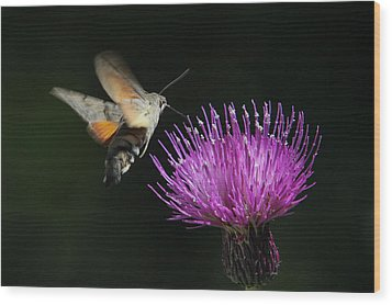 Wood Print featuring the photograph Hummingbird Hawk-moth - Macroglossum Stellatarum by Jivko Nakev