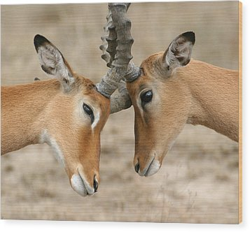 Impala Nudge - Selenium Toned Wood Print